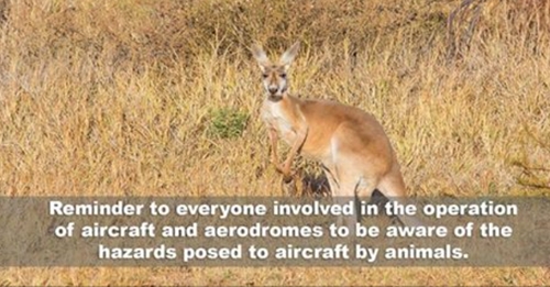 Hazards posed to aircraft by animals
